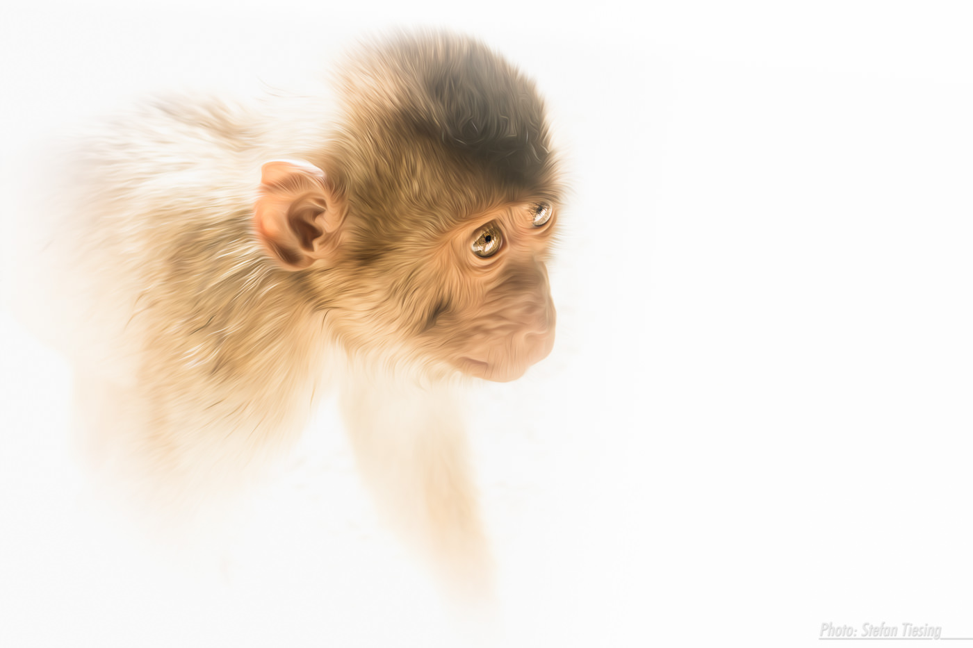 Pig-tailed macaque flooded with light