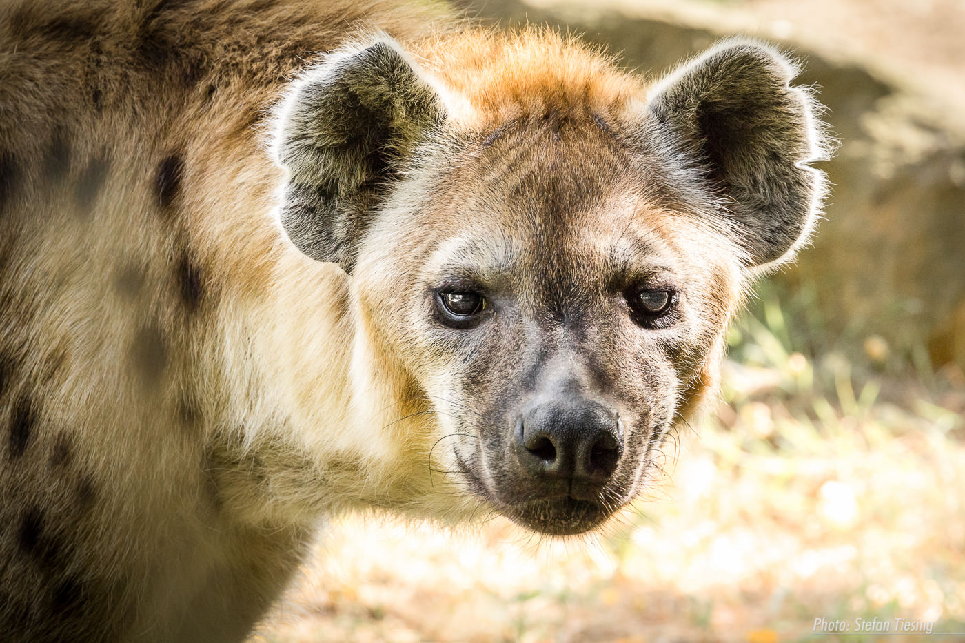 Spotted Hyena: no mood to be trifled