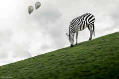 Zebra & Balloons