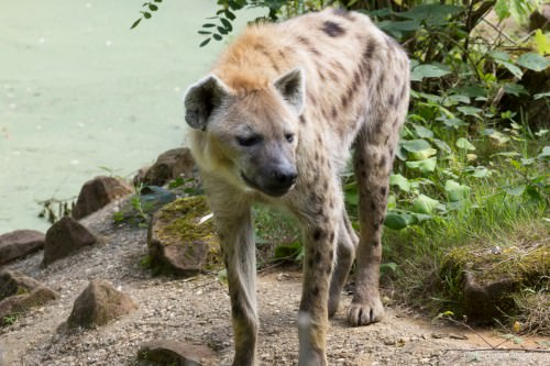Spotted Hyena- no mood to be trifled (MakingOf) 1