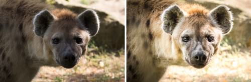 Spotted-Hyena--no-mood-to-be-trifled-(MakingOf)-2