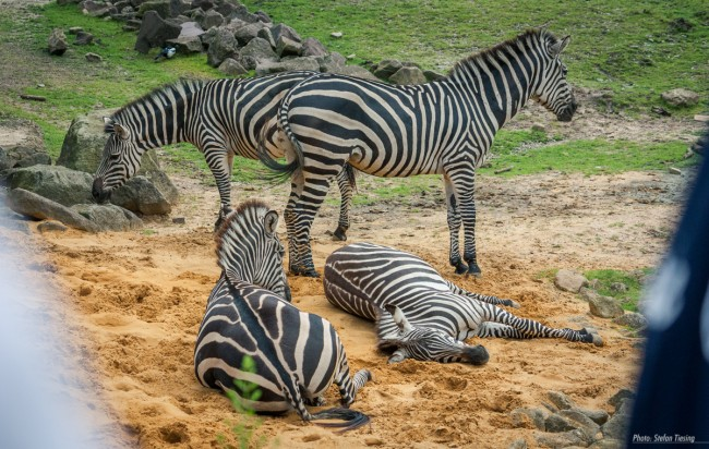 Zebra & Balloons (MakingOf) 1