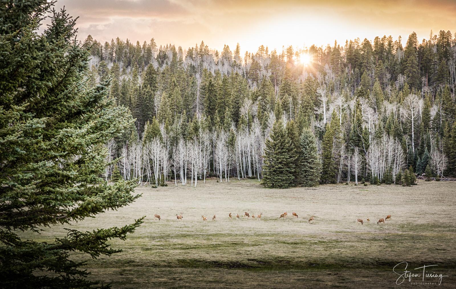 Kaibab Deer near Kaibab Plateau-North Rim Parkway