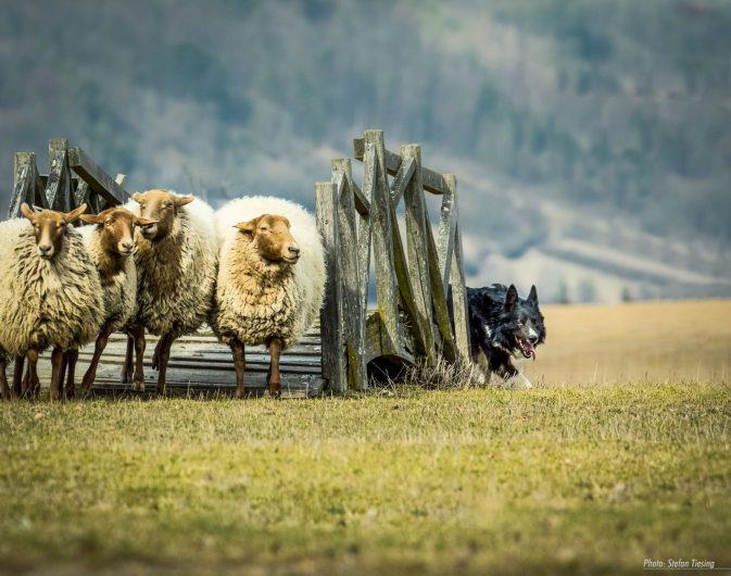 Shepherd awaits you