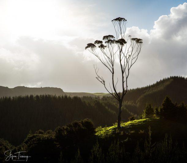 That Coromandel Tree