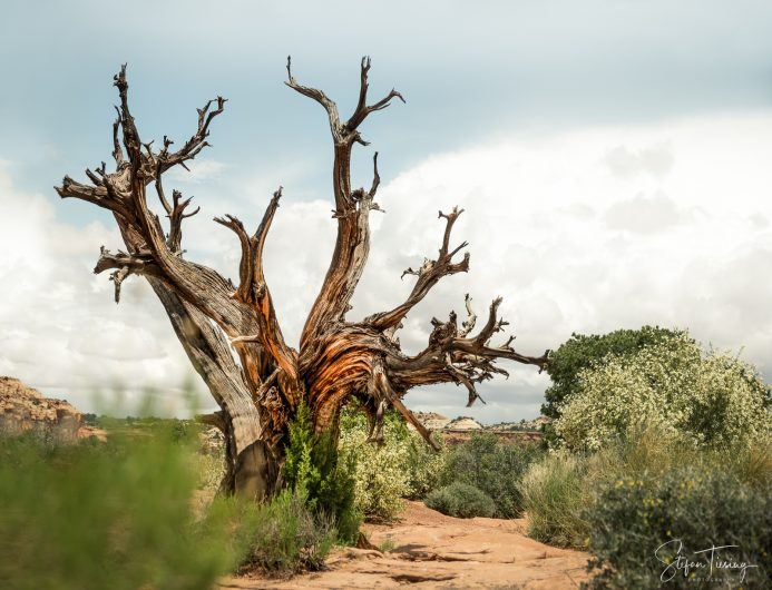 Dead Tree at Green River Overlook