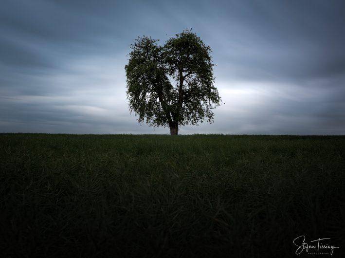 Lone Pear Tree