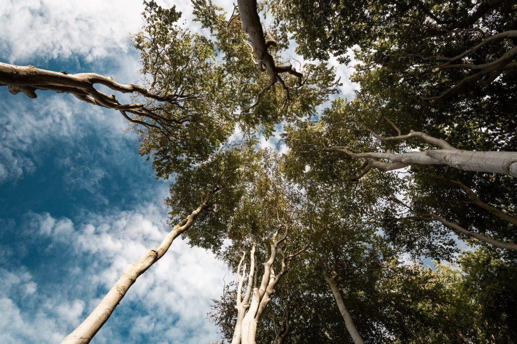 Baumkronen im Gespensterwald bei Nienhagen