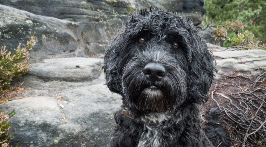 Nasser Portugiesischer Wasserhund