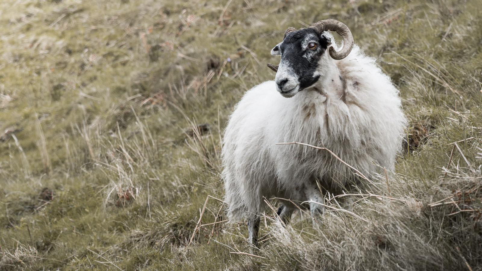 Ein Schaf in Schottland